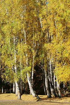 Free Birch Wood Forest Stock Photos - 6875313