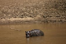 Baby Hippo In The River Stock Photos