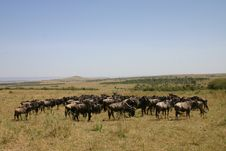 Free Wildebeast Migration Stock Images - 6875544