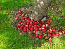 Free Ripen Delicious Apples By A Tree Royalty Free Stock Images - 6875629