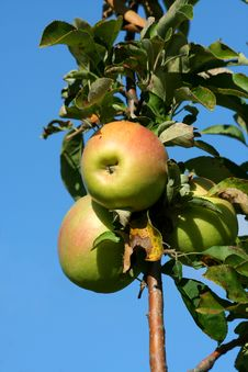 Free Granny Smith Apples On A Tree Royalty Free Stock Photos - 6875958
