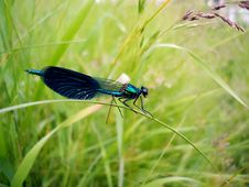 Free Dragonfly On A Grass Stalk Royalty Free Stock Images - 6876729