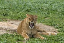 Free Angry Lioness Stock Photography - 6877422