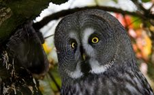 Free Great Grey Owl Stock Image - 6877561
