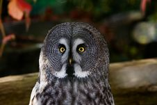 Free Great Grey Owl Stock Photos - 6877803