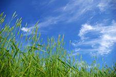 Free Wheat Royalty Free Stock Photo - 6879715