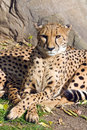 Free Cheetah Stock Photo - 6881820