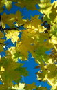 Free Sun In Autumn Leaves-2 Stock Photos - 6887713