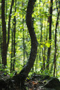 Free Bent Tree In The Forest. Stock Photos - 6889663