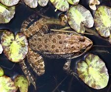 Free Frog 14 Royalty Free Stock Photo - 6880535