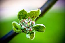 Free Spring Bud Stock Photo - 6881590