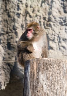 Free Japanese Macaque Royalty Free Stock Images - 6881909