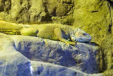 Free Iguana Stock Photo - 6882100