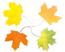 Free Maple Leaves Stock Photography - 6882732