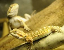 Free Bearded Dragon Siblings Royalty Free Stock Photography - 6882827