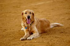 Free Golden Retreiver At Field Stock Image - 6886151