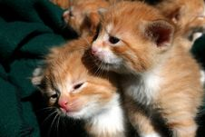 Free Young Kittens Royalty Free Stock Images - 6886389