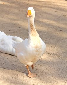Free Goose Stock Photo - 6886990