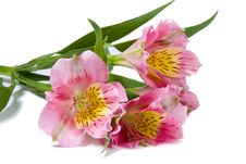 Free Pink Alstroemeria Flower Royalty Free Stock Images - 6887519