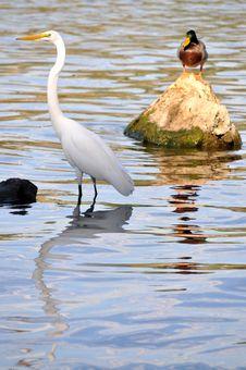 Free Egret & Duck Stock Image - 6887591