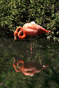 Free Single Flamingo In The Water Royalty Free Stock Photo - 6888415
