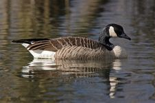 Free Canadian Geese 1 Royalty Free Stock Photography - 6889097