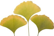 Free Ginkgo Leafs Royalty Free Stock Photo - 6889675