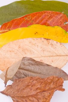 Free Autumn Leaves On White Royalty Free Stock Images - 6889779