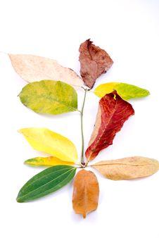 Free Autumn Leaves On White Royalty Free Stock Image - 6889786