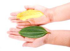 Free Holding Leaf Isolated Stock Photo - 6889800