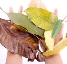 Free Holding Leaf Isolated Royalty Free Stock Image - 6889806