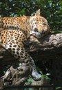 Free Leopard Sleeping On A Tree Royalty Free Stock Photos - 6892748