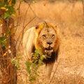 Free Lion In Sabi Sands Royalty Free Stock Photos - 6895238