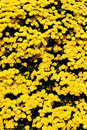 Free Garden Mums Stock Photography - 6898622