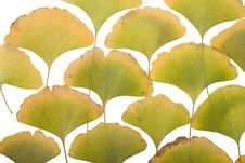 Free Ginkgo Leafs Royalty Free Stock Image - 6890026