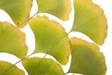 Free Ginkgo Leafs Royalty Free Stock Photos - 6890098