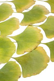 Free Ginkgo Leafs Stock Images - 6890284