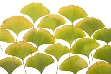 Free Ginkgo Leafs Royalty Free Stock Images - 6890289