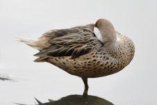 Free Wild Duck. Stock Photo - 6890320