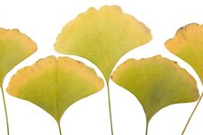 Free Ginkgo Leafs Stock Image - 6890491