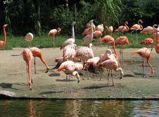 Free Pink Flamingos Stock Image - 6892171