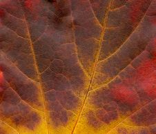 Free Structure Of Scanned Leaves Of Maple (Acer) Royalty Free Stock Images - 6892339