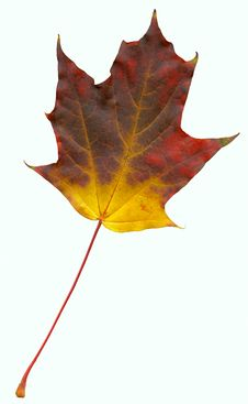 Free High Quality Scanned Leaf Of Maple (Acer) Stock Image - 6892371