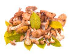 Free Mushrooms Honey Agarics With Yellow Leaves Stock Photo - 6893290