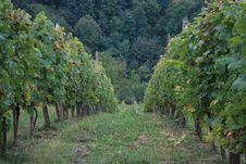 Free Grape Fields Stock Image - 6893711