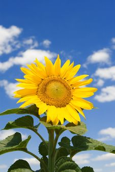Free Amazing Sunflower Stock Image - 6893971