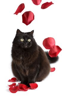 Free Black Cat And Rose Petals Royalty Free Stock Photo - 6893985