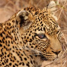 Free One Eyed Leopard Royalty Free Stock Photography - 6894877