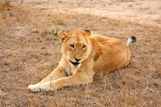 Free Lioness In Sabi Sands Stock Photo - 6895140