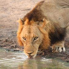 Free Lion Drinking In Sabi Sands Stock Photo - 6895210